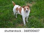 jack russell terrier | Shutterstock . vector #368500607