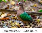 close up of common emerald dove ... | Shutterstock . vector #368550371