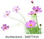 Cosmos Flower Plant In The...