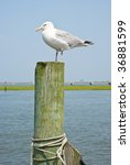 Seagulls On A Piling In Virginia