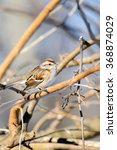 Small photo of AMERICAN TREE SPARROW PERCHED IN A TREE