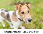 cute 6 months old fox terrier | Shutterstock . vector #369143549
