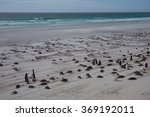 Small photo of Gentoo Penguins (Pygoscelis papua) hunker down on the windswept beach at Volunteer Point in the Falkland Islands.