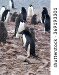 Small photo of Adelie penguin colony, with chicks that still have their down