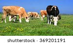 cows on a summer pasture | Shutterstock . vector #369201191