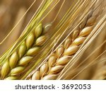 Close-up of wheat straws on a summer day in the field - stock photo