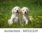 Stock photo puppies of labrador retriever sitting on the lawn 369221129
