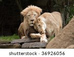 Lions In Love. A Lion And A...