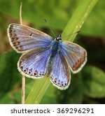 Common Blue Butterfly  ...