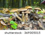Honey Fungus  Armillaria Melle...