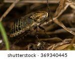 lesser cockroach  ectobius... | Shutterstock . vector #369340445