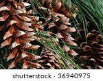 Background image of pine cones and needles from white pine tree.  Macro with shallow dof. - stock photo
