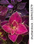 Small photo of Coleus leaf background