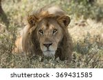 male lion portrait  serengeti...   Shutterstock . vector #369431585