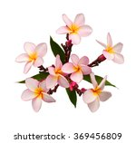 Stock photo frangipani flowers isolated on white background 369456809