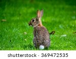 Closeup Of Cute Cottontail...