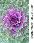 Flowering Cabbage  Ornamental...