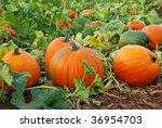 Fresh  Ripe  Pumpkins Growing...