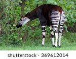 Okapi On Green Grass