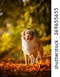 australian shepherd on the... | Shutterstock . vector #369655655