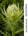 Small photo of Spiniest Thistle - Cirsium spinosissimum Pale Yellow Alpine Thistle