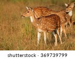 Spotted Deers Or Chitals  Axis...
