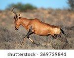 Red Hartebeest  Alcelaphus...