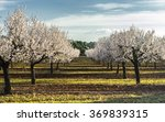 Blossoming Almond Tree...