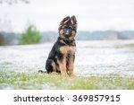 Stock photo german shepherd puppy sitting on the lawn in winter 369857915