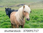 Icelandic Pony On Pasture.