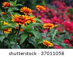 Vivid Bi Color Zinnias In...