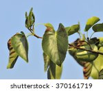 Small photo of Italian Alder - Alnus cordata Leaves and Catkins