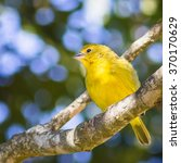 Small photo of Saffron Finch (Sicalis flaveola - Linnaeus, 1766)
