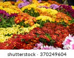 Colorful Autumn Mums Or...