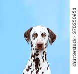Portrait Of Dalmatian Close Up...