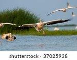 great white pelican  pelecanus... | Shutterstock . vector #37025938