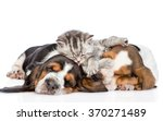 Stock photo funny kitten lying on the puppies basset hound and licks them isolated on white background 370271489