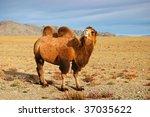 Bactrian Camel In Mongolian...