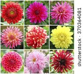 Collage With Dahlia Flowers In...