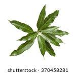 bunch of green mango leaves on...   Shutterstock . vector #370458281