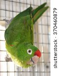 Mexican Red Headed Amazon Parrot