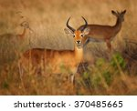 Pair Reddish Brown Antelope...