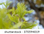 leafs of the mimosa tree | Shutterstock . vector #370594019