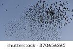 Flock Of European Starlings ...