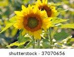 sunflower | Shutterstock . vector #37070656