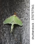 Small photo of A Luna Moth (Actias luna) perched on a building in Ontario, Canada.
