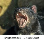 Tasmanian Devil With Open Mouth.