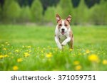 Stock photo happy american staffordshire terrier dog running on the field with dandelions 371059751