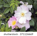 large pink wild rose flowers in ... | Shutterstock . vector #371126669