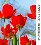 Beautiful Red Tulips In The...